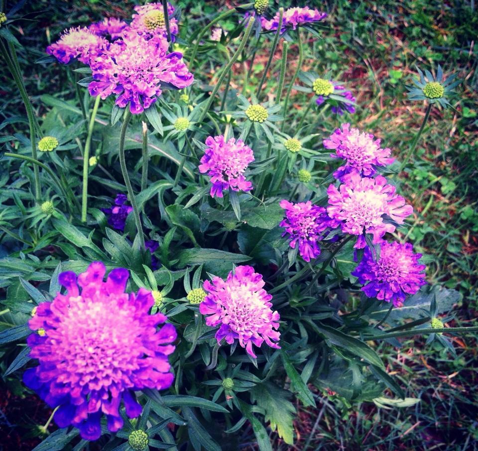 Pincushion Flowers The Garden Virtuoso